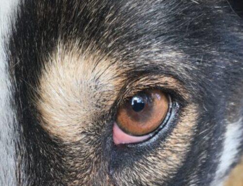 Husky pack members – Part three – Max, Gonzo and Honda