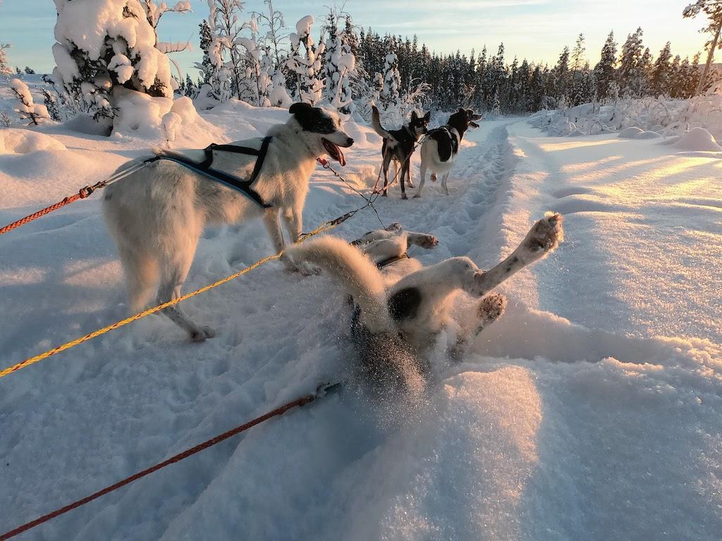 huskies like pulling sleds