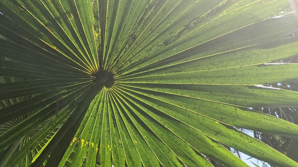 palm leave Cozumel Mexico